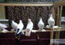 Kazan'da güvercinler festivali